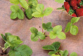 Plantex strawberry mulch fabric